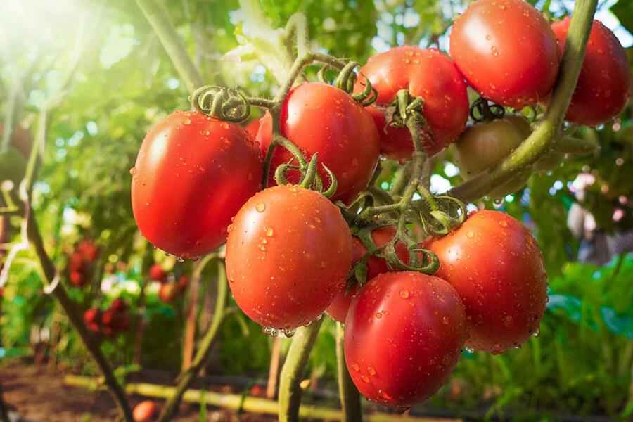 C60-France-Antioxydant-tomate-tomato-sauce-lycopene